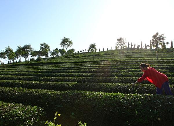 生态茶园采茶