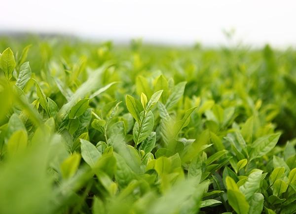 生态茶园茶树风采