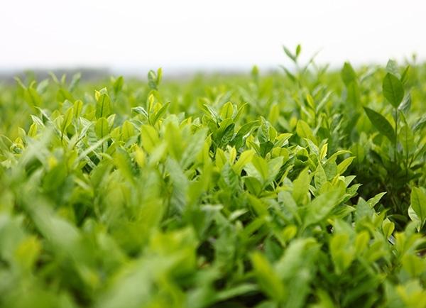 生态茶园茶树近景