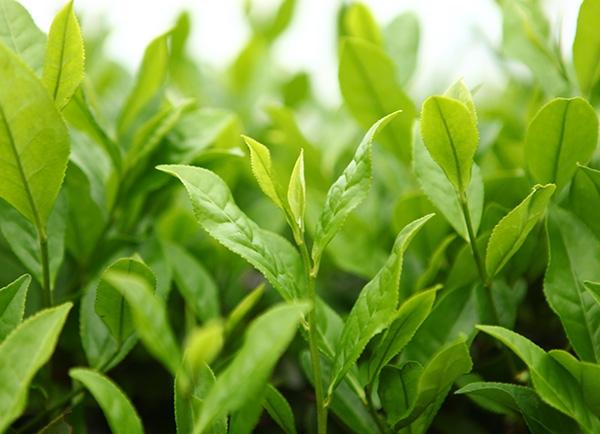 生态茶园茶树叶